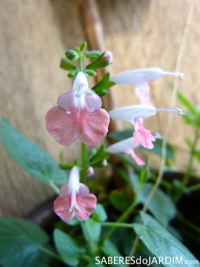 Sálvia Coral - Salvia Coccinea
