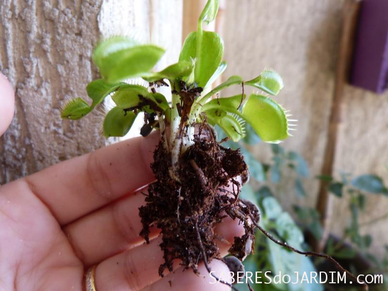 Raízes da Dionaea muscipula