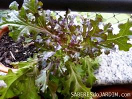 Horta - Alface Mimosa