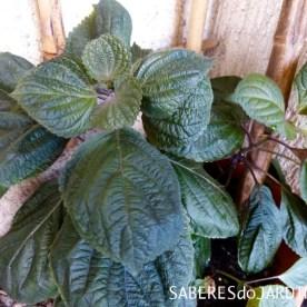 Shiso - perilla frutescens