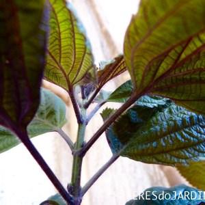 Shiso (Perilla frutescens)