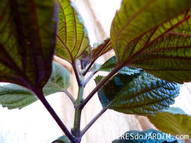 Shiso Perilla Frutescens