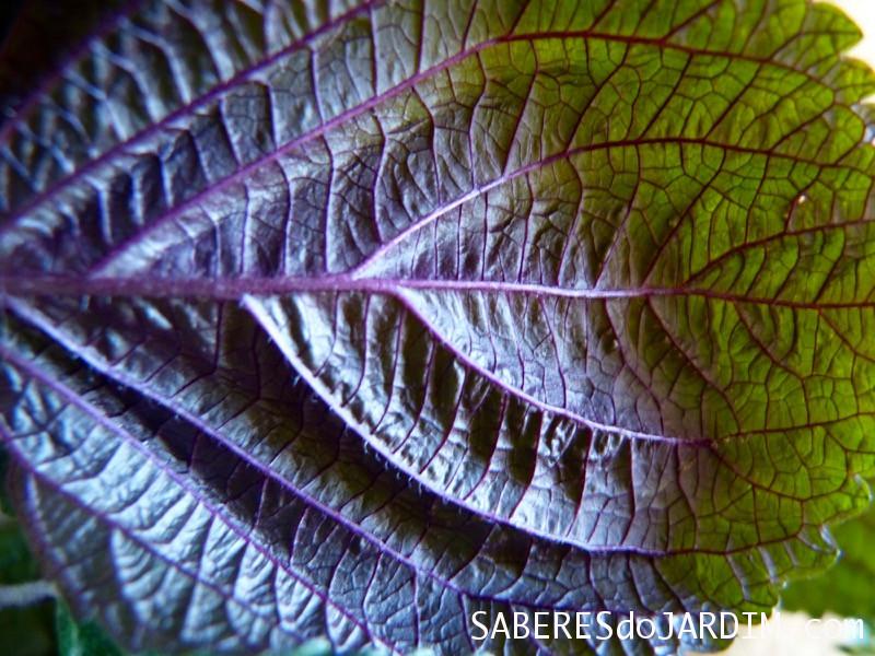 A beleza das folhas do shiso