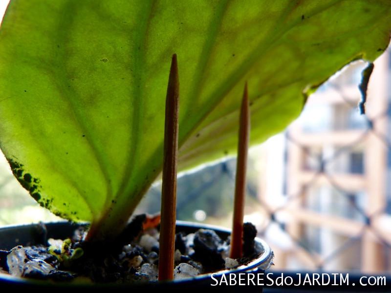 Folha da violeta amparada por palitos de dente