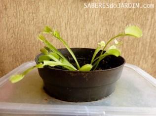 Dionaea Estiolada