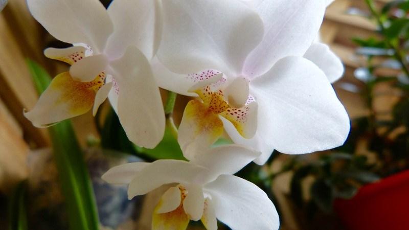 Salve uma Orquídea