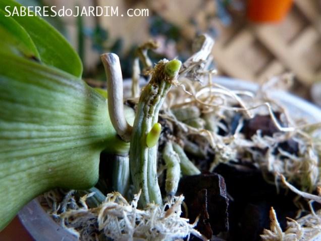 Raízes de Orquídea Crescendo