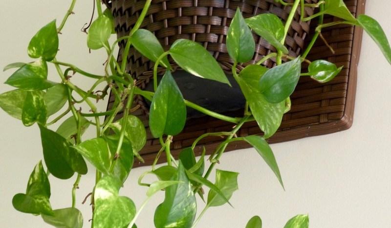 Jiboia(Epipremnum aureum)