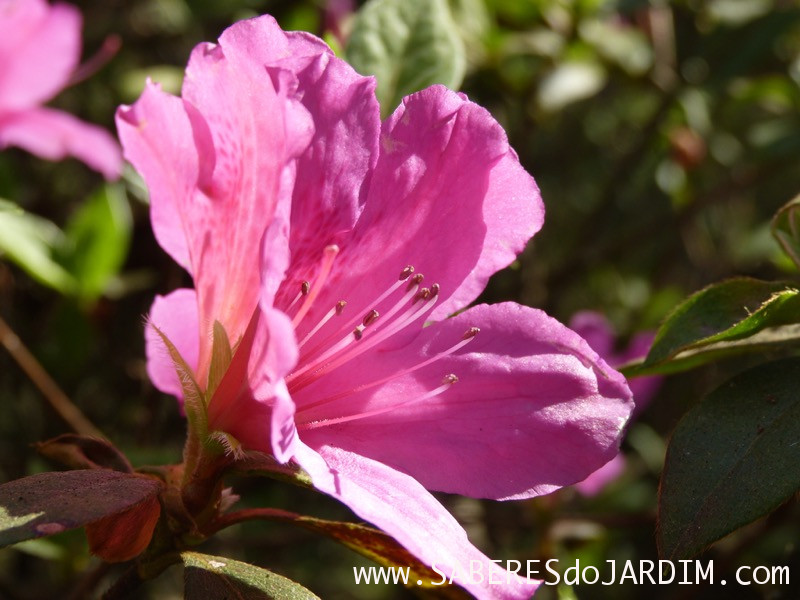 Azaleia - Flor azaleia