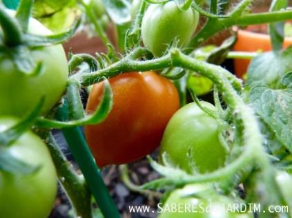 Tomate heartbreakers vita