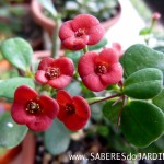 Suculenta Coroa de Cristo (Euphorbia Milli Mini)