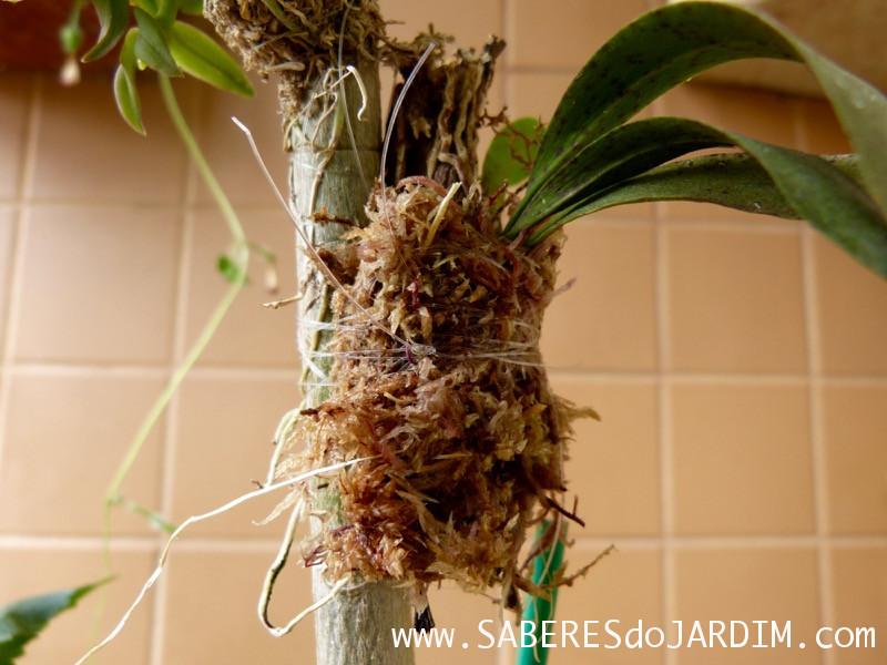 Orquídeas em Árvores - Lophiaris Pumila