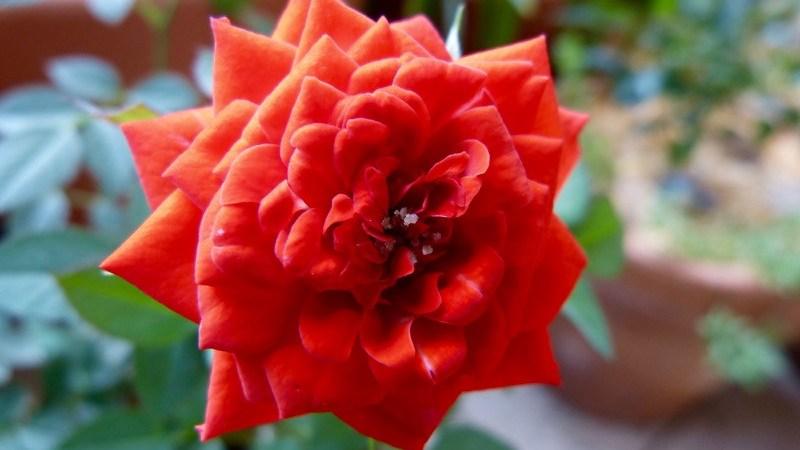 Mini Rosas (Rosa Chinensis)