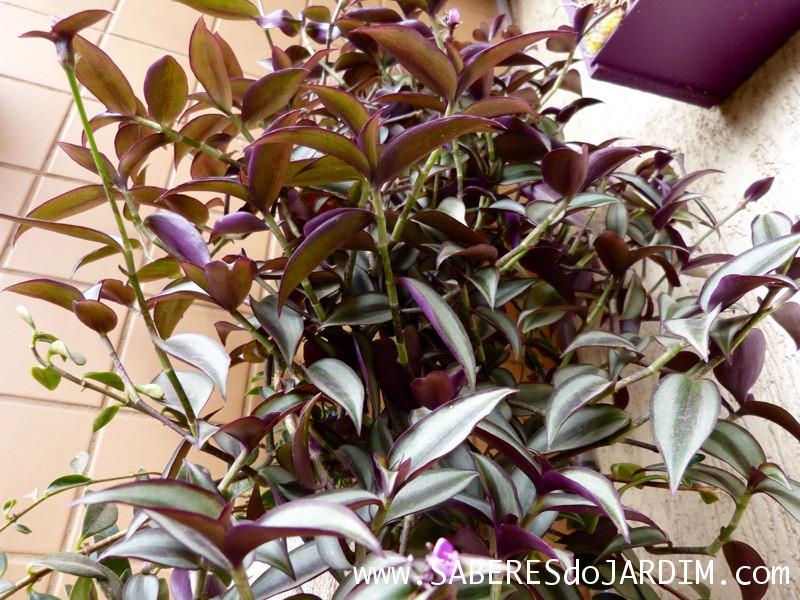 Zebrina - Tradescantia Zebrina - Lambari - Folhagem Roxa