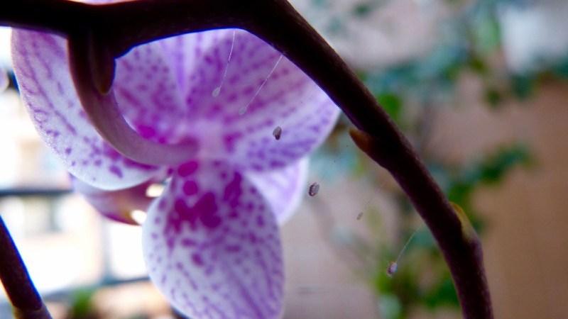 Crisopa ou Lacewings (Chrysoperla Carnea)