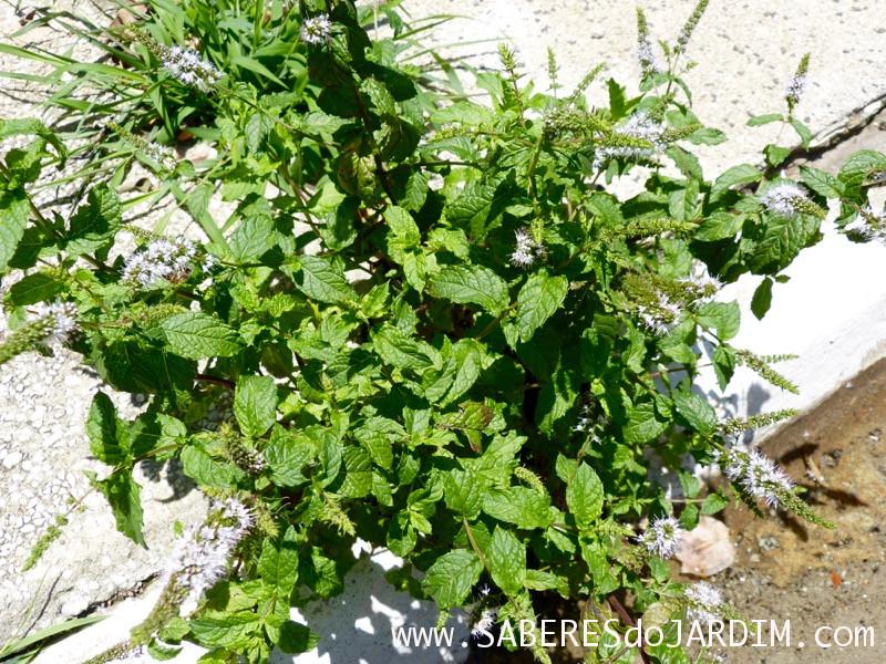 Caçadora de Plantas - Identificar Espécies e Coletar Sementes - Mentha piperita