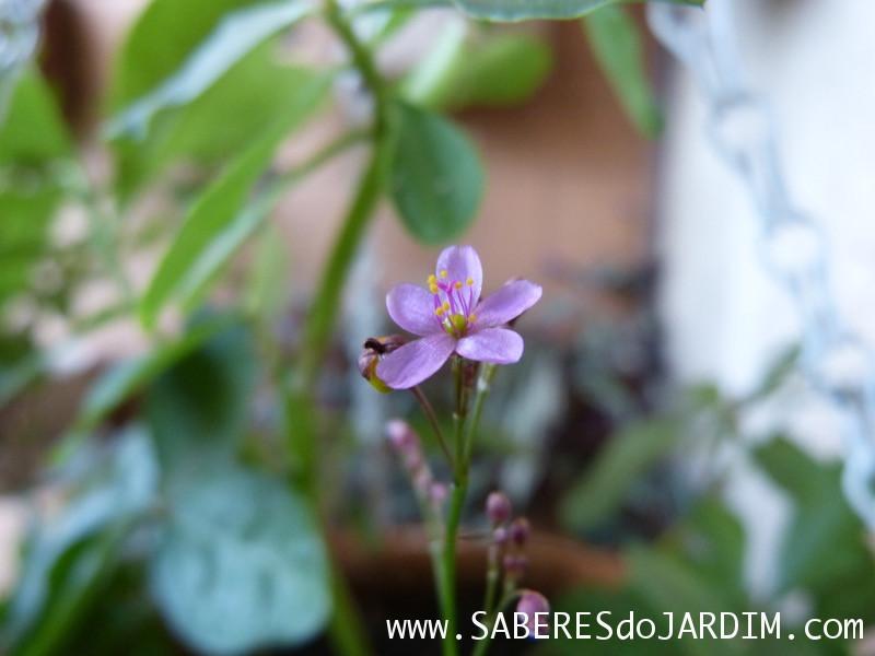 Beldroegão - Maria Gorda - Talinum Paniculatum