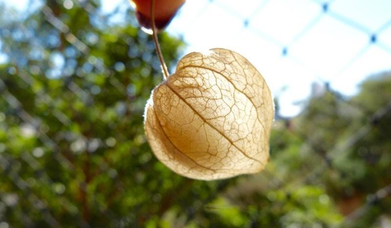Physalis (Physalis Peruviana)