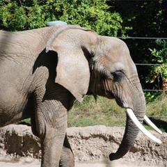 Cu nto pesa un elefante nuestro blog de espa ol for Cuanto mide un arbol