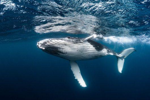 Com a caça proibida, população de baleia jubarte sobe de 450 para 25 mil