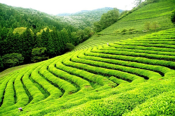 This is the world's most beautiful tea plantation