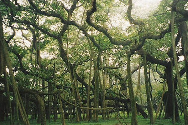 This is a unique tree in the world! A forest itself