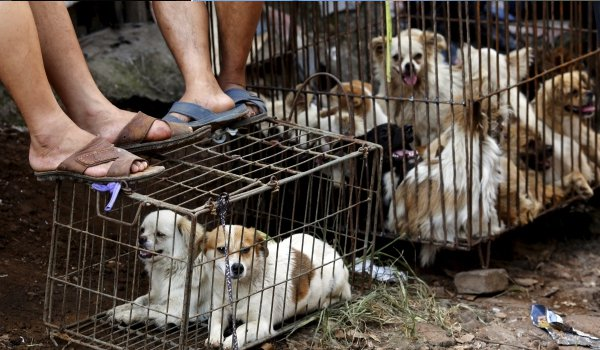 Vietnamese dog meat vendors prepare for Lunar New Year