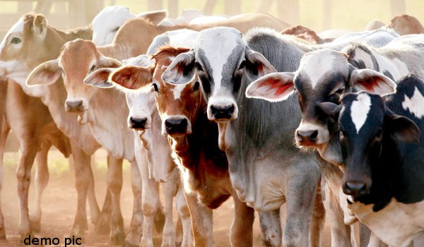 nine cows and two bulls electrocuted in Etah gaushala