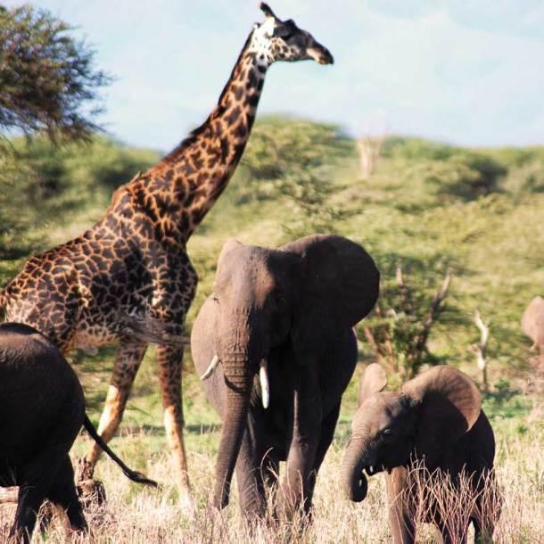 Giraffen überragen selbst Elefanten - die Schwergewichte!