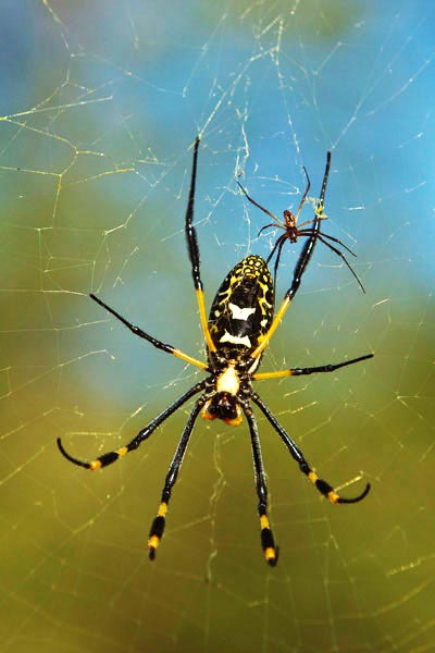 Image result for Golden Orb Weaver Spider
