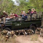 Sabi Sabi Private Game Reserve Bush Lodge Safari Wild Dogs