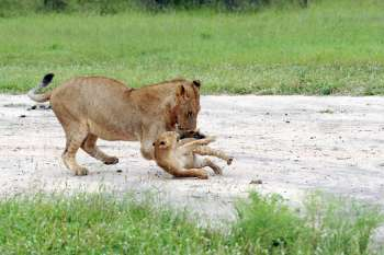 Elephant Plains Game Lodge Playing Lions