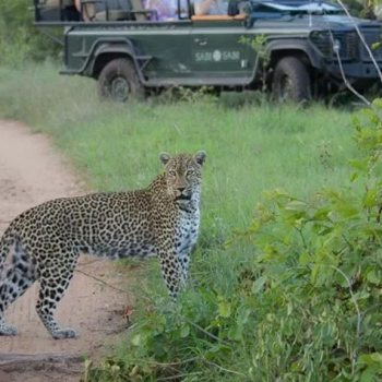 Sabi Sabi Little Bush Camp Accommodation Activities Leopard