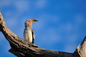 Inyati Game Lodge Zazu (hornbill)