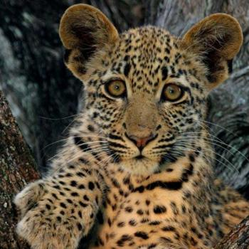 Londolozi Pioneer Camp Accommodation Activities Leopard Cub