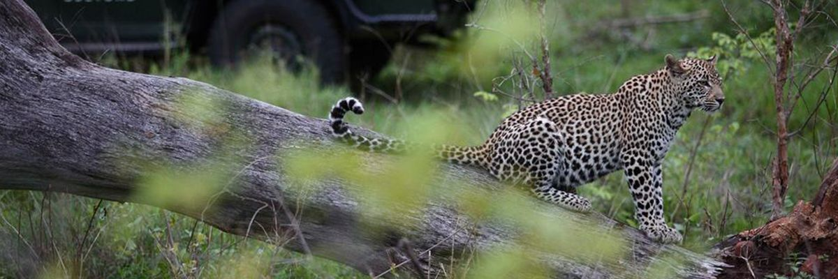 Kirkmans Kamp Leopard Spotted on Safari