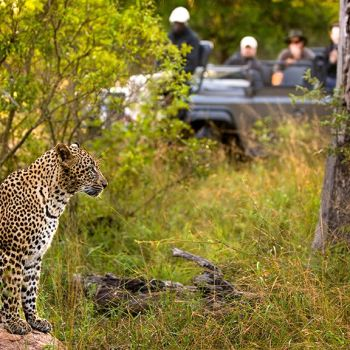 Lion Sands Treehouses Sighting on Game Drive Rare