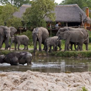 Simbambili Game Lodge Wildlife Waterhole Buffalo
