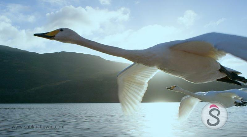Whooper Swan 02