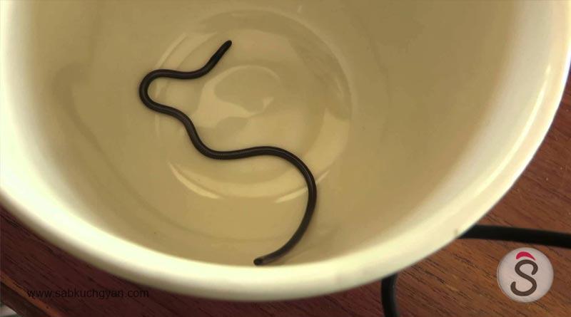 leptotyphlops-carlae-noddle-type-snake 13