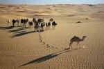 chameaux en liberté dans l'erg Issaouane. Algérie. photo B. Remaud.