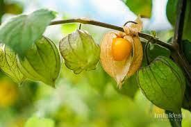 mermelada de golden berries