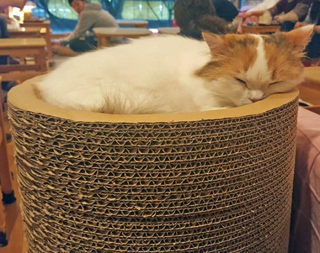 sleeping cat happy neko cat cafe tokyo