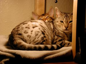 picture of Baz's bengal cat Kayta, and his Somali cat, Zorro