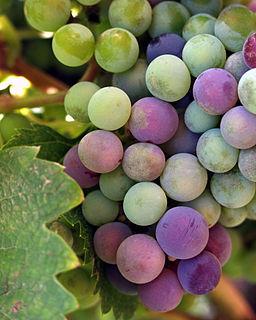 Grape Picking Season Carriers Hidden Dangers