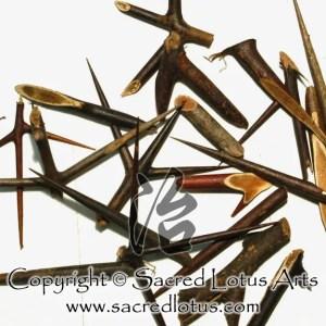 Chinese Herb: Zao Jiao Ci (Spine of Chinese Honeylocust