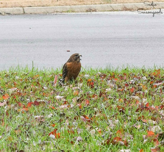 Red shouldered hawk in the front yard as bird habitat