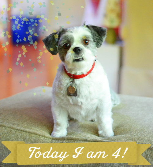 Sadie-Shih-Tzu-4th-birthday