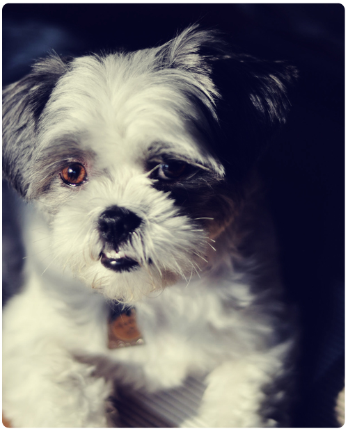 Sadie Shih Tzu in the light