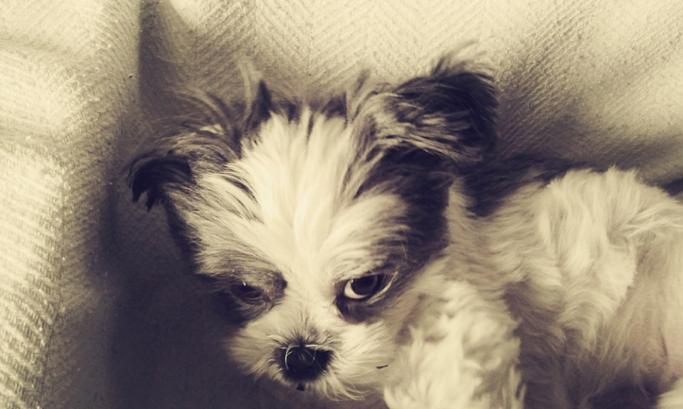 Sadie-Shih-Tzu-silent-growl